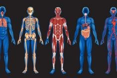 Circulatory System: Facts, Function & Diseases » LiveScience